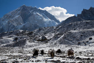 Yaks in front of the Marble Wall of Nuptse